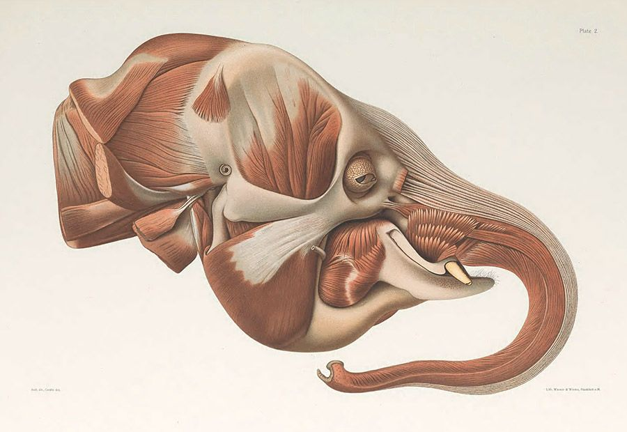 Illustration of the side view of an Asian elephant head showing the anatomy of the head and trunk.